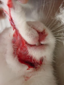 ウサギ顔はがれ けんか