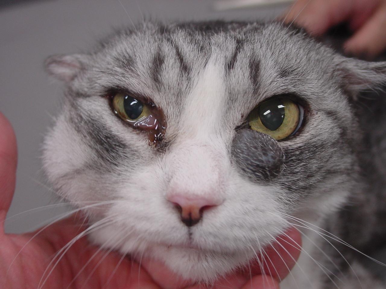 猫 目 の 周り が 赤い