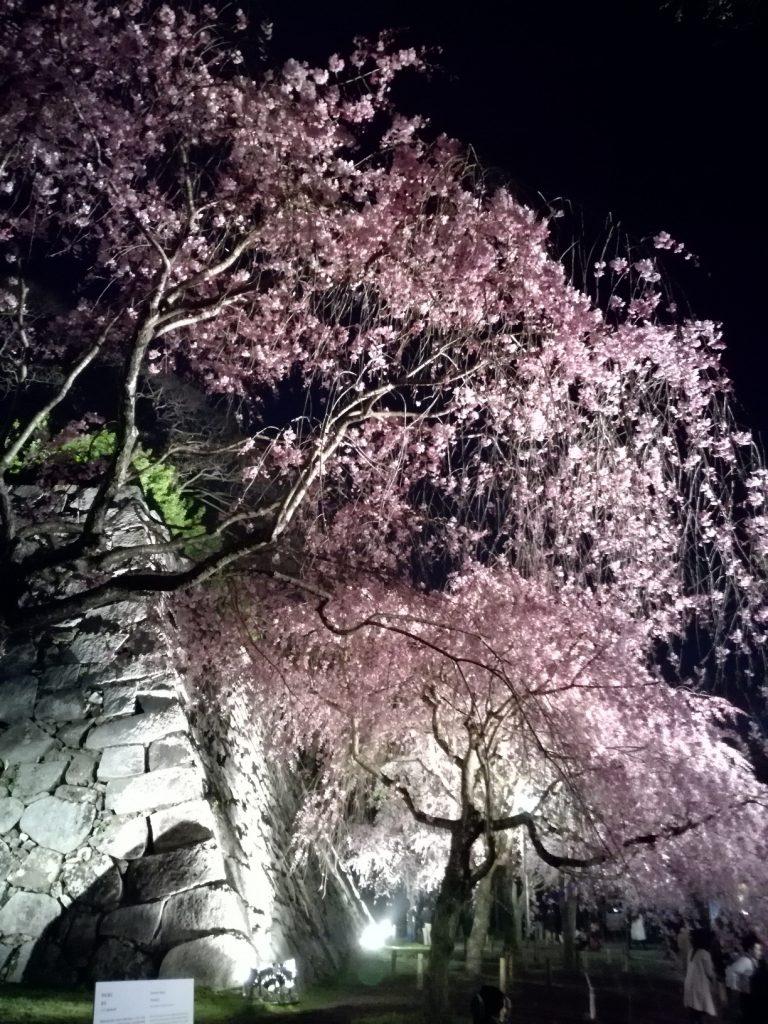 舞鶴公園さくらまつり 枝垂れ桜のライトアップ